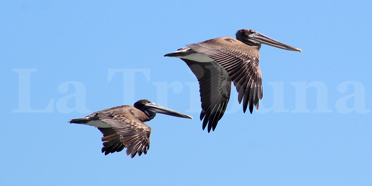 Los pelícanos son aves comúnmente avistadas en el norte de Honduras. Fotos: Josué Quintana y Alcaldía Puerto Cortés