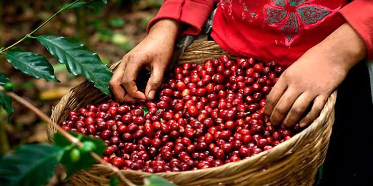 El café, granos básicos y la ganadería son los que más personas emplean en el sector agro.
