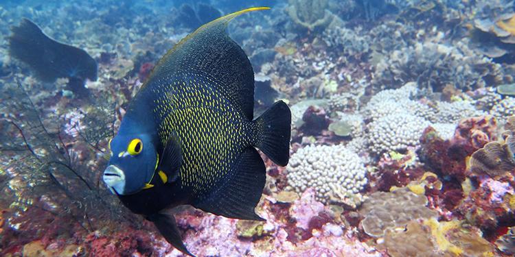 La cantidad de peces bajó a la mitad en los arrecifes de Honduras, sostiene la investigación de la Iniciativa Arrecifes Saludables. Foto Tela Marine