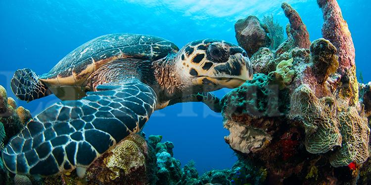 Las tortugas carey habitan en los arrecifes de la región norte e insular de Honduras. Foto: Shawn Jackson