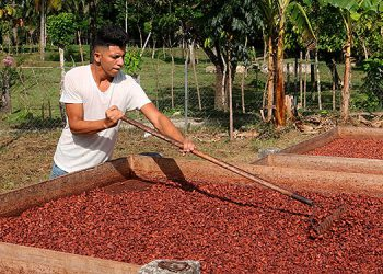 La cadena de valor de Cacao es apoyada por la COSUDE, porque genera divisas al país  y protege el medio ambiente.