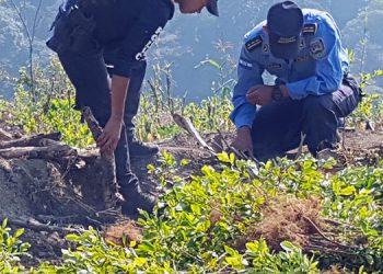 Destruyen plantación de coca y un narcolaboratorio en Yoro (Vídeo)