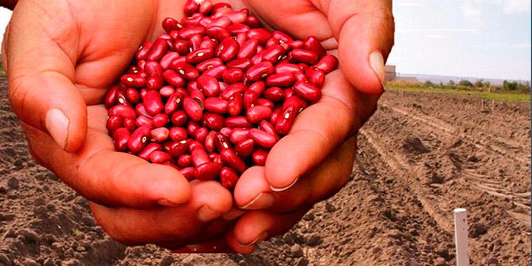 Alertan productores: Hasta un 85% caería la siembra de primera