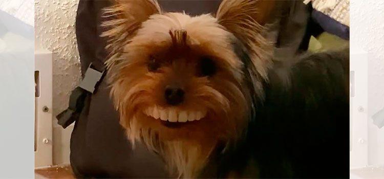Perro le roba dentadura a su dueño y se hace viral (Video)