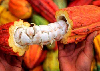 Las ventas de cacao han crecido entre un 20 y 30 por ciento, de acuerdo con los reportes oficiales.