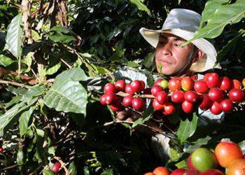Ya se exportó el 57.1 por ciento del café hondureño, considerando el pronóstico de envíos de 8.5 millones de quintales.
