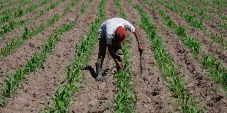 Muchos agricultores sembraron con las primeras lluvias y ahora están trabajando con medidas de bioseguridad para evitar contagiarse con el COVID-19.