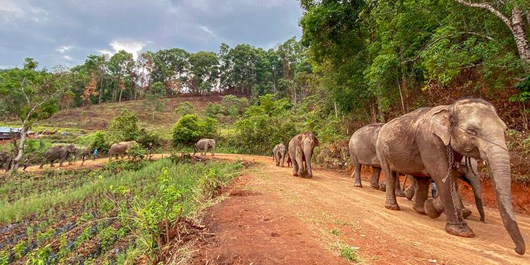 Tailandia: elefantes sin trabajo por la pandemia del COVID-19, regresan a su hábitat