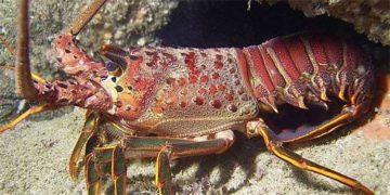 En junio próximo termina la veda para la pesca de langosta espinosa, el caracol Strombus gigas y otras especies de importancia comercial.