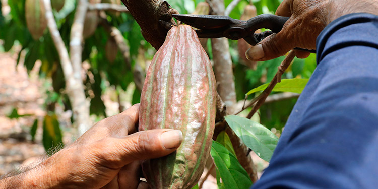 Un ingreso de 5 millones de dólares tendrá Honduras por producción de cacao