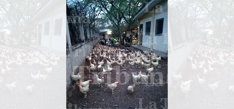 Libre entrega gallinas de forma ordenada en la colonia San Francisco