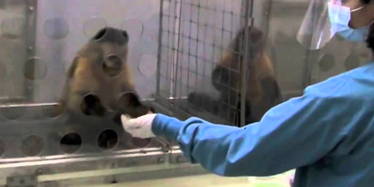 Monos hurtan muestras de sangre tomadas para detectar la COVID-19