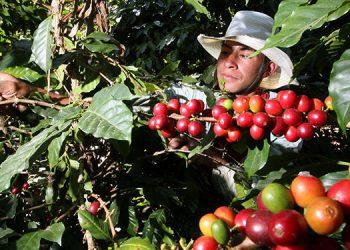 Más de 91,000 productores serán beneficiados con el bono cafetalero