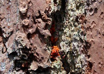 Gorgojo descortezador amenaza nuevamente bosques de Siguatepeque