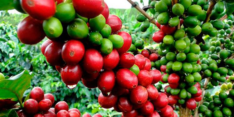 COVID-19 impide a guatemaltecos venir a fertilizar cafetales