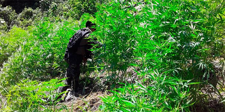 Al descubierto enorme plantación de marihuana