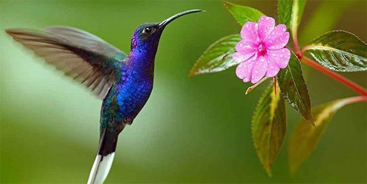 Los colibrís ven colores que los humanos no pueden percibir