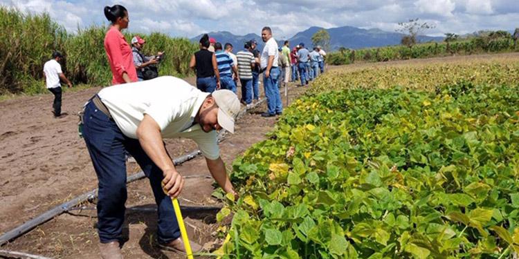 Productores esperan cosechar 850 mil quintales de frijol
