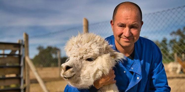 Científicos chilenos hallan fuerte anticuerpo contra la COVID-19 en alpacas