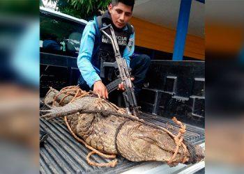 Rescatan cocodrilo en zona pública de La Ceiba y lo trasladan a 'Cuero y Salado'