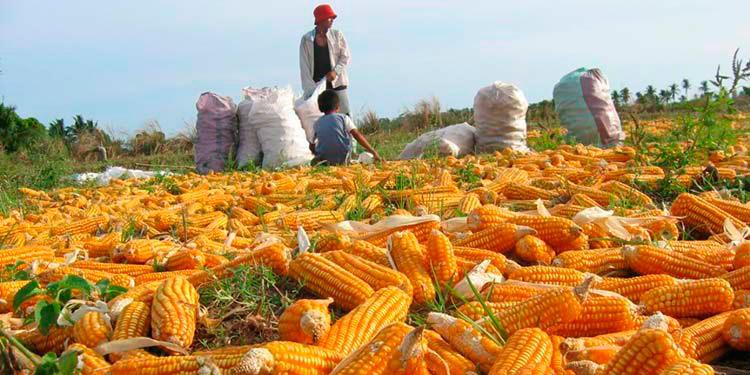 Aumentará 30% la producción de maíz