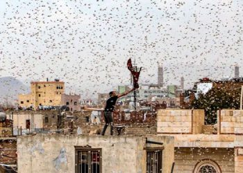 Plaga de langostas que viaja hasta 150 kilómetros diarios amenaza a Argentina