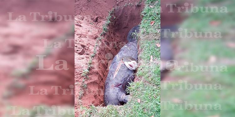 Hallan un manatí muerto junto a su cría en La Ceiba