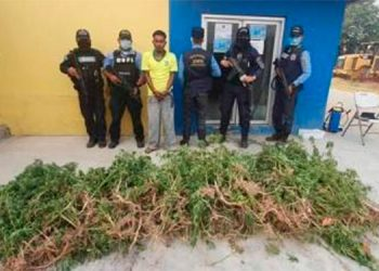 Capturado con más de 500 plantas de marihuana y queda libre por falta pruebas