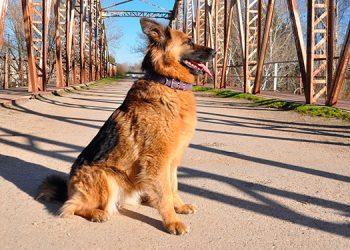 Perro lleva semanas esperando a su dueño en puente donde se suicidó por tener COVID-19