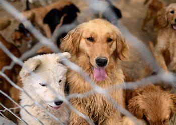 La fiesta de la carne de perro en China, víctima colateral del coronavirus