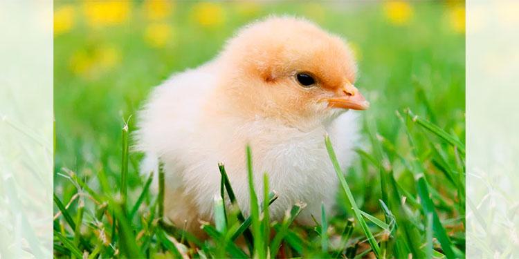 Pollito nace de entre un cartón de huevos que estaba a punto de ser vendido