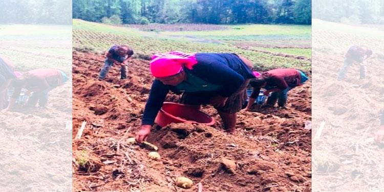 Con apoyo de PROLENCA 270 familias siembran granos básicos hortalizas y papa