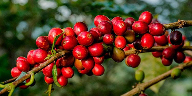 Las exportaciones de café bajaron un 18 por ciento, lo que fue compensado con incrementos en la producción.