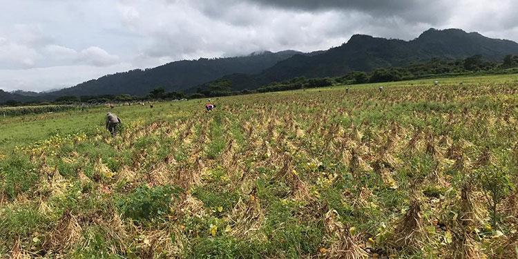 Buenas cosechas de granos en Jamastrán y altiplano