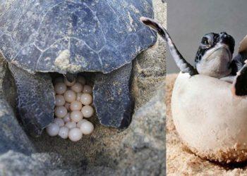 Tortugas marinas inician desove en isla de Guanaja
