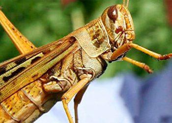 Senasa: Plaga de langosta voladora afectaría 41 zonas del país