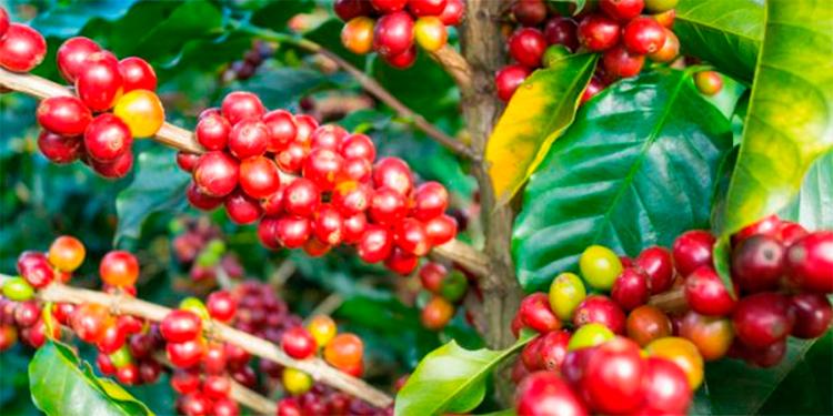 Mitigarán efectos del covid-19 en sector café