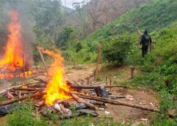 Policía quema enorme plantación de marihuana