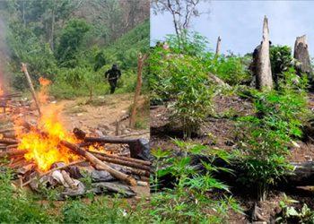 Destruyen más de 35 mil plantas de marihuana en Colón