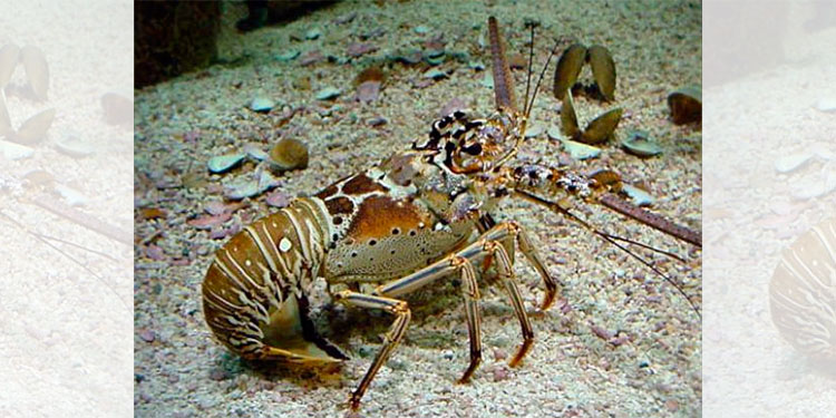 Honduras inicia temporada pesquera de Langosta Espinosa en el mar Caribe