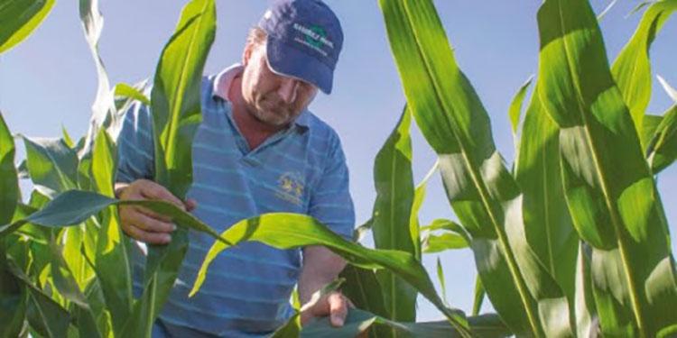Producirán un millón de quintales de maíz