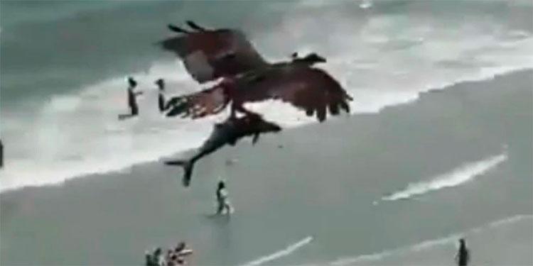 Así fue el momento en que águila atrapa con sus garras a un pequeño tiburón (Video)
