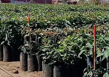 3672 productores se beneficiarán con el Plan Nacional de Aguacate