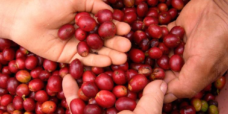 $877 millones en divisas deja exportación de café