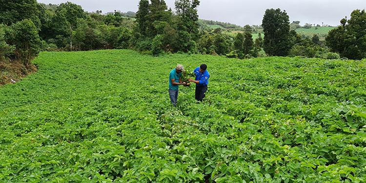 Productores de papa en Intibucá satisfechos con los productos
