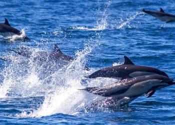 Avistan estampida de unos 300 delfines en sur de California