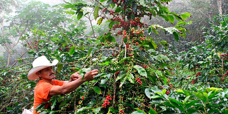 Exportaciones de café con una disminución del 17%