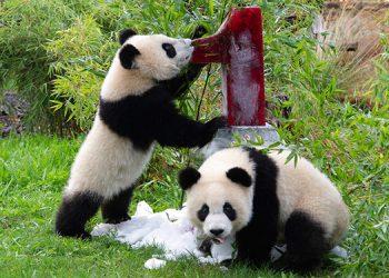 Los pandas gemelos del zoo de Berlín celebran su cumpleaños
