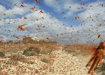 Una feromona irresistible provoca la plaga de langostas