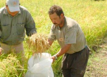 Arroceros proyectan una cosecha de 1.4 millones de quintales